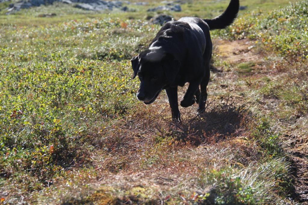 Så här ser en trött labrador ut som inte har vett att vila när det finns möjlighet