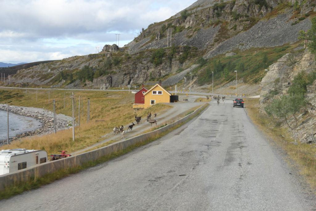 På väg ut till Hammerfest, några renar.